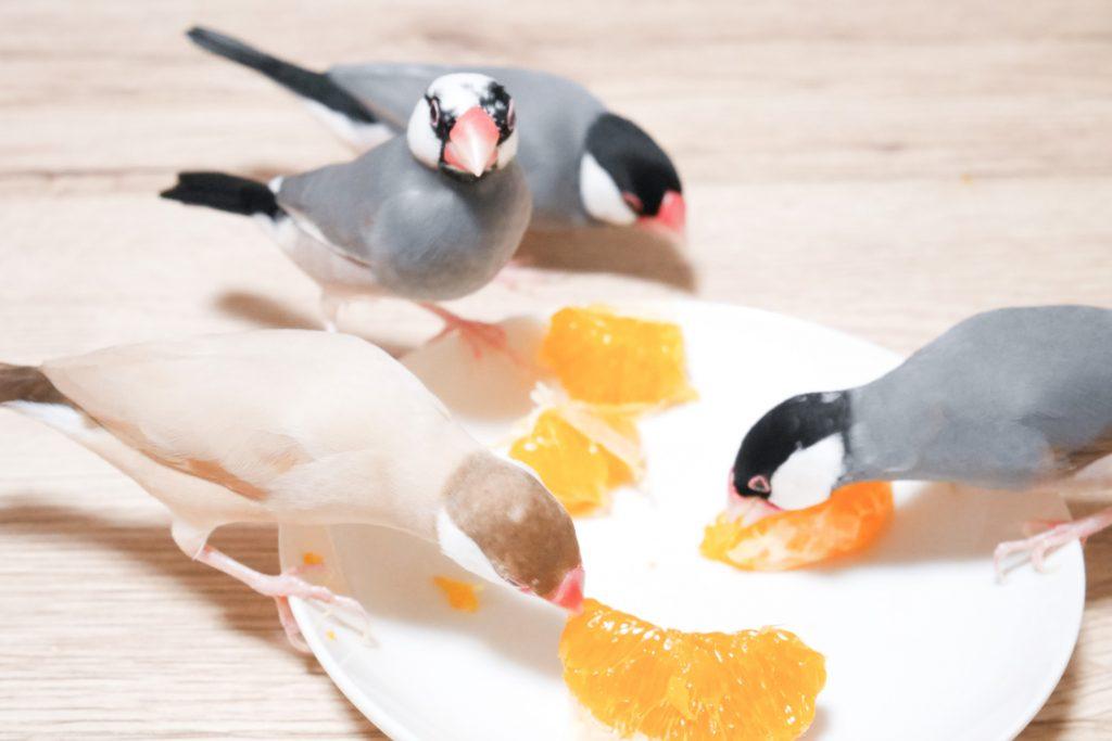 みかん 文鳥